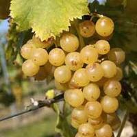Viticultor - Vând struguri pentru vinificare Poza