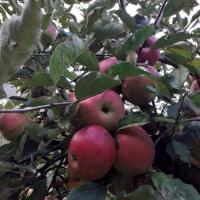 Vand mere soiurile Ionatan si Rosu delicios Poza